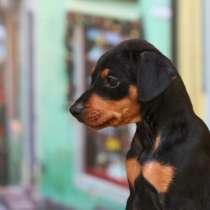Немецкий пинчер щенок, в Москве