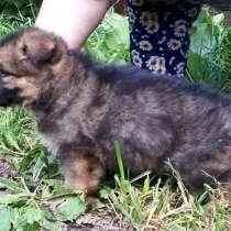 Продаются щенки немецкой овчарки, в Подольске
