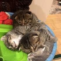 Продам котят Британский Веслоух короткошёрстные двое мальчик, в г.Черновцы