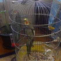Продам попугаев карэла, в Сарове