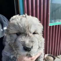 Продам щенков кавказкой овчарки, в Чите