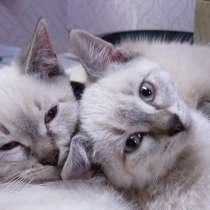 Тайские (старосиамские) котята, в Екатеринбурге