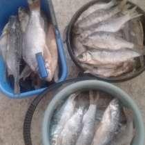 Продам вяленую рыбу, собственного посола, в Омске