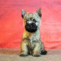 Продаю щенков Керн терьера, в Владивостоке