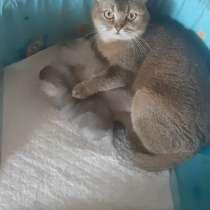 Котята шотландской золотой шиншиллы, в г.Орша