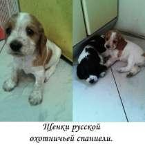 Продаю щенков охотничьих русских спаниелей, в Великом Новгороде