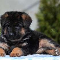 Предлагаем широкий выбор первоклассных щенков Н/О, в г.Киев