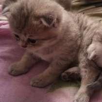 Шотландские котята, в г.Гомель