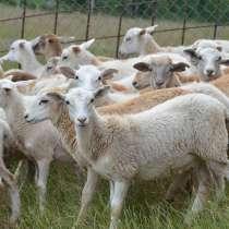 Племенные овцы породы Катумская (Скот из Европы класса Элита, в г.Ереван