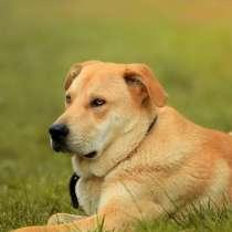 Сильный, смелый и благородный пес Арчи в добрые руки, в Москве