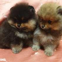 Шикарные щенки померанского шпица, в Нижнем Новгороде