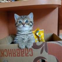 Продаются шотландские котята, в г.Витебск