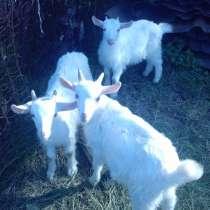 Продам козлят заненской породы, в Ангарске