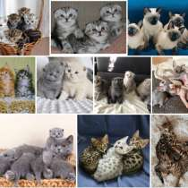 Питомник котят Хабаровске, в Хабаровске