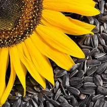 Семена подсолнечника римисол (евролайтинг), в Краснодаре