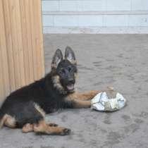 Продам щенка немецкой овчарки, в г.Берлин