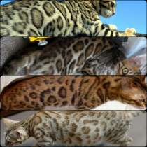 Бенгальские котята, в г.Витебск