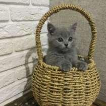 Британские котята, в г.Брест