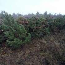 Хвойные деревья сосны оптом, в Челябинске