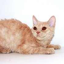 Кудрявый котик, в Уфе