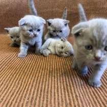 Шотландские котята, готовы к переезду в новый дом, в Раменское