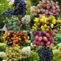 Саженцы и черенки винограда, в г.Алматы