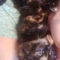 Подарю сибирских котят 1 месяц, в Красноярске
