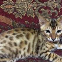 Бенгальский Коты, в Самаре