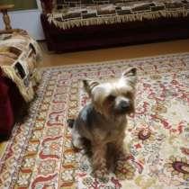 Пропала собака йоркширский терьер (крупный мальчик), в г.Орша