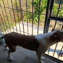 Продам собаку алабай 2 года и 6 месяцев, в г.Комрат