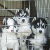 Сибирские хаски черно-белые щенята, в Владимире