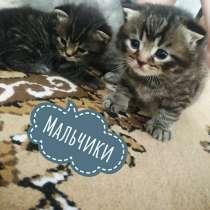 Продаю 6-рых шотландских котят, в Муроме