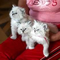 Невские Маскарадные котята из питомника, в Москве