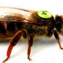 Пчеломатки среднерусские, в Ижевске