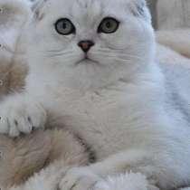 Вязка с шотландским шиншилловым котом, в Ярославле