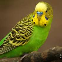 Волнистые попугаи выводок, в Казани