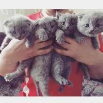 Шотландские котята, в г.Лида