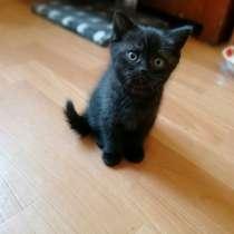 Продам котят шотландские прямоухие, в г.Кривой Рог
