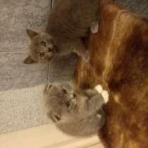 Британский котенок, в г.Могилёв