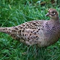Продам молодых курочек охотничьего фазана, в г.Костанай