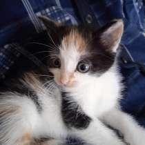 Котенка трехшерстного, в Кемерове