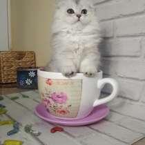 Продам котенка породы Шотландский вислоухий, в г.Кутаиси
