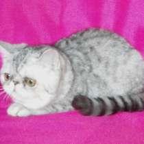 Котята экзотические разных окрасов, в Омске