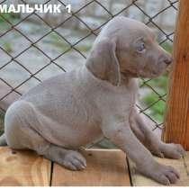 Продам щенков веймаранера, в г.Ровно
