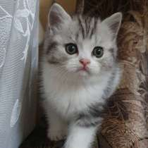 Шотландские котята, в г.Кишинёв