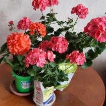 Герань яркого розового и лососевого цветов, в Калининграде