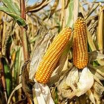 Гибрид Микси кукуруза селекция RAGT, в Зернограде