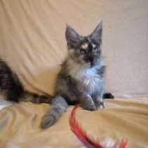 Meine Coon cat, в г.California