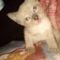 Сиамские котята, в Чусовой