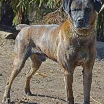 Умнейший пес, метис Боксера, в Санкт-Петербурге